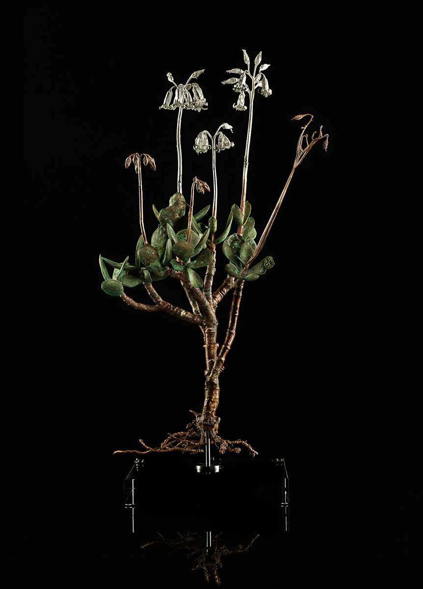 <i>Coteledon orbiculata </i>