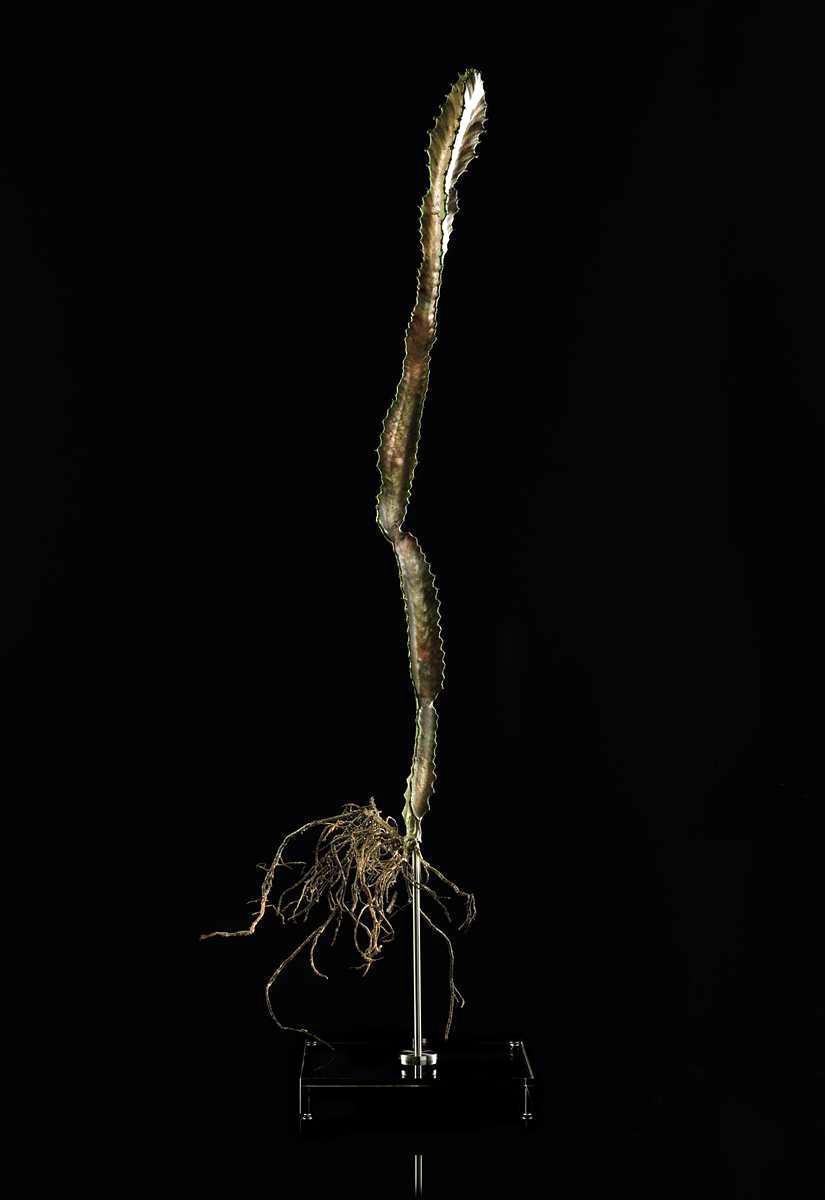 <i>Euphorbia ingens</i>