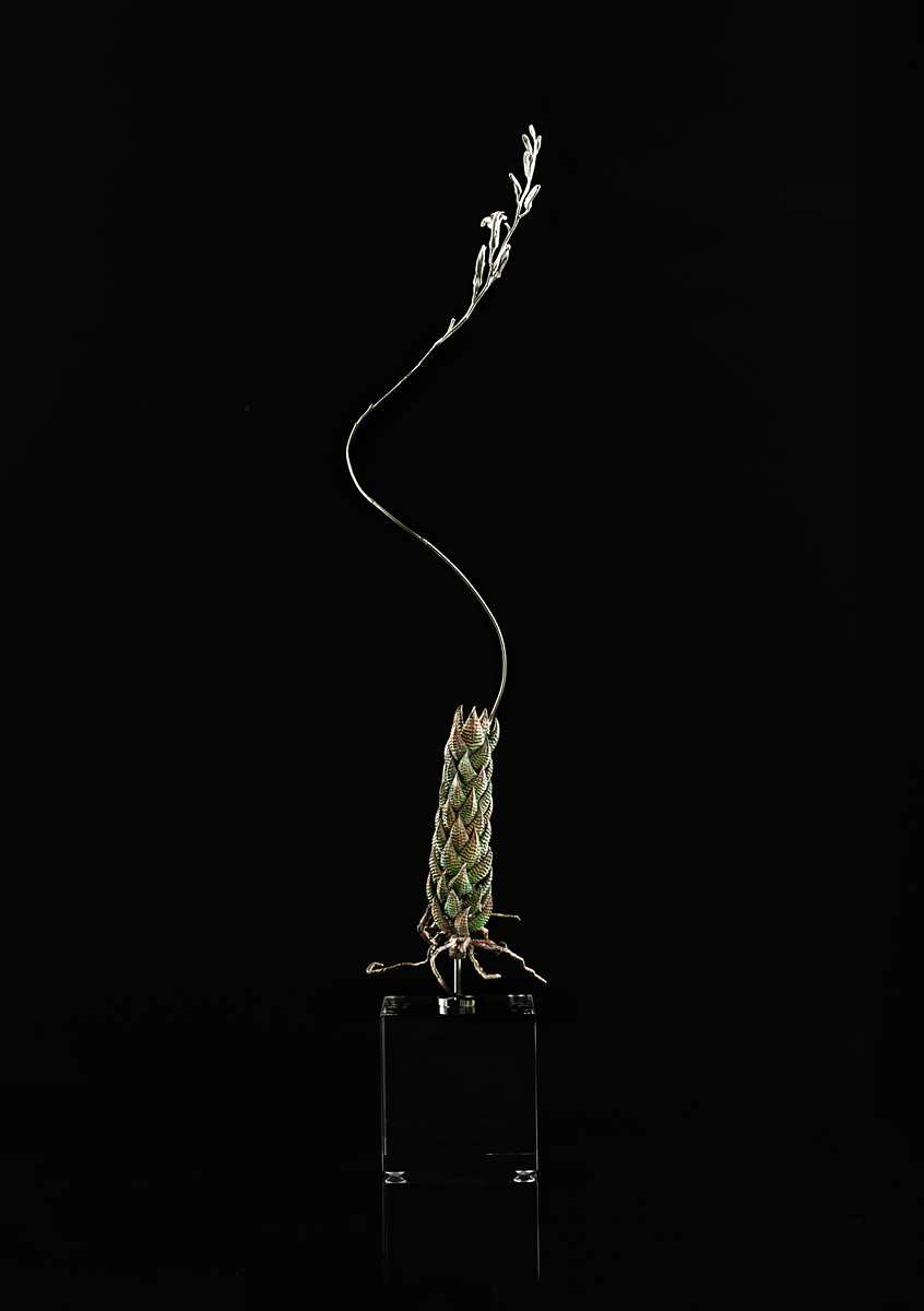 <i>Haworthia coarctata </i>