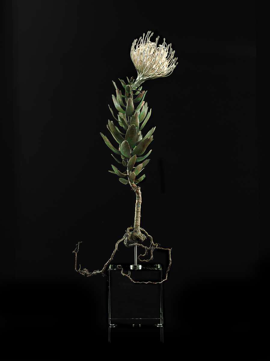 <i>Leucospermum cuneiforme </i>