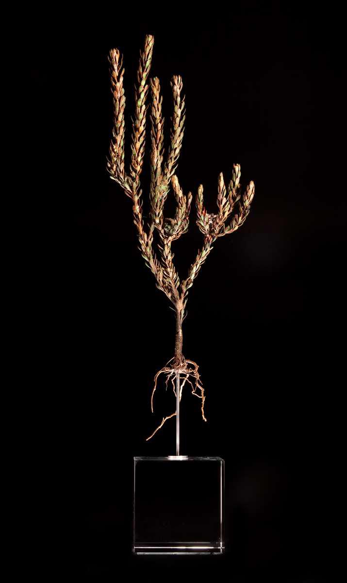 <i>Leucodendron levisanus</i>