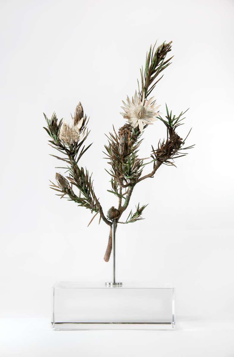 <i>Protea mucronifolia </i>