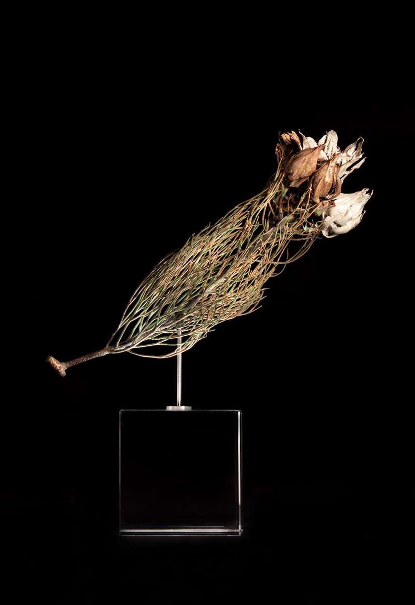 <i>Serruria florida</i>