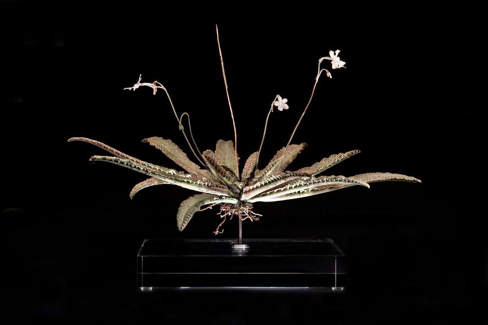 <i>Streptocarpus kentaniensis</i>
