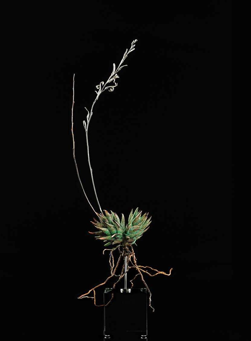 <i>Haworthia reinwardtii</i>