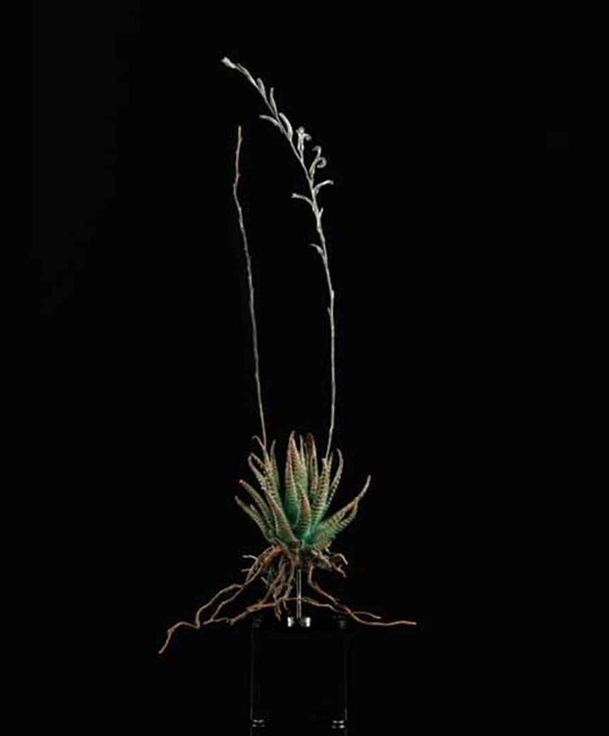 <i>Haworthia attenuata </i>
