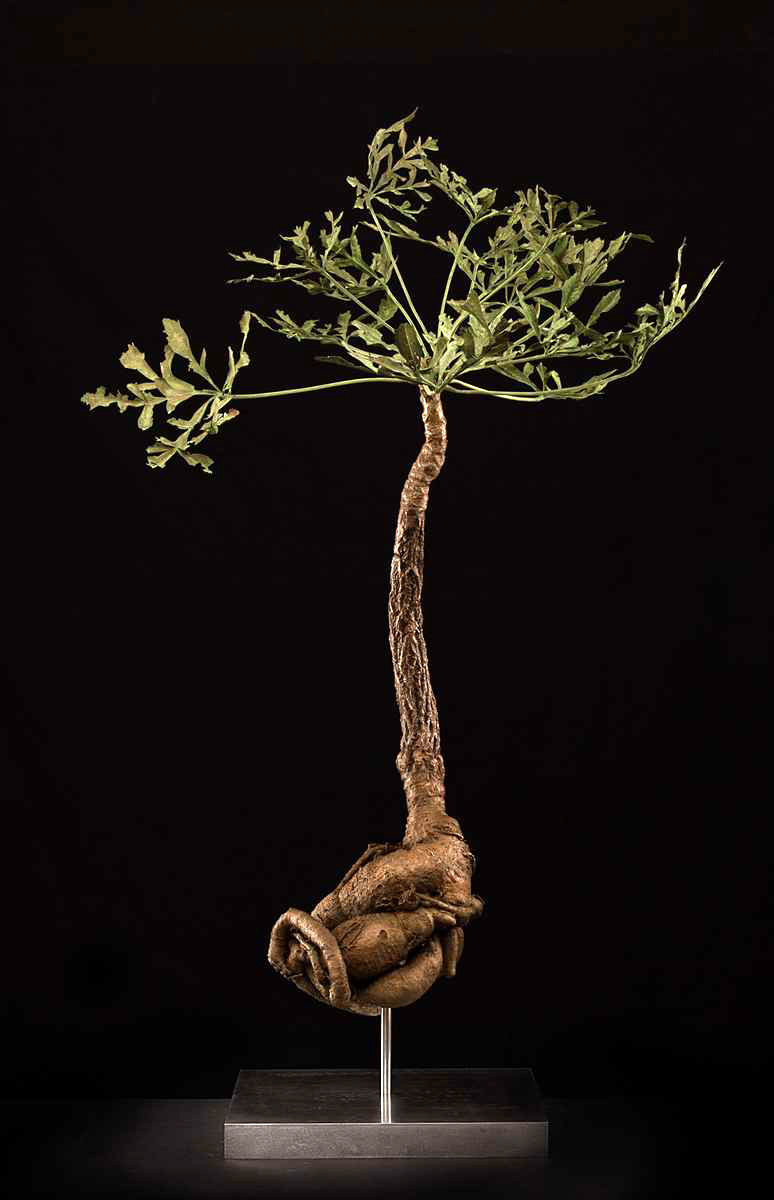Cussonia spicata.jpg