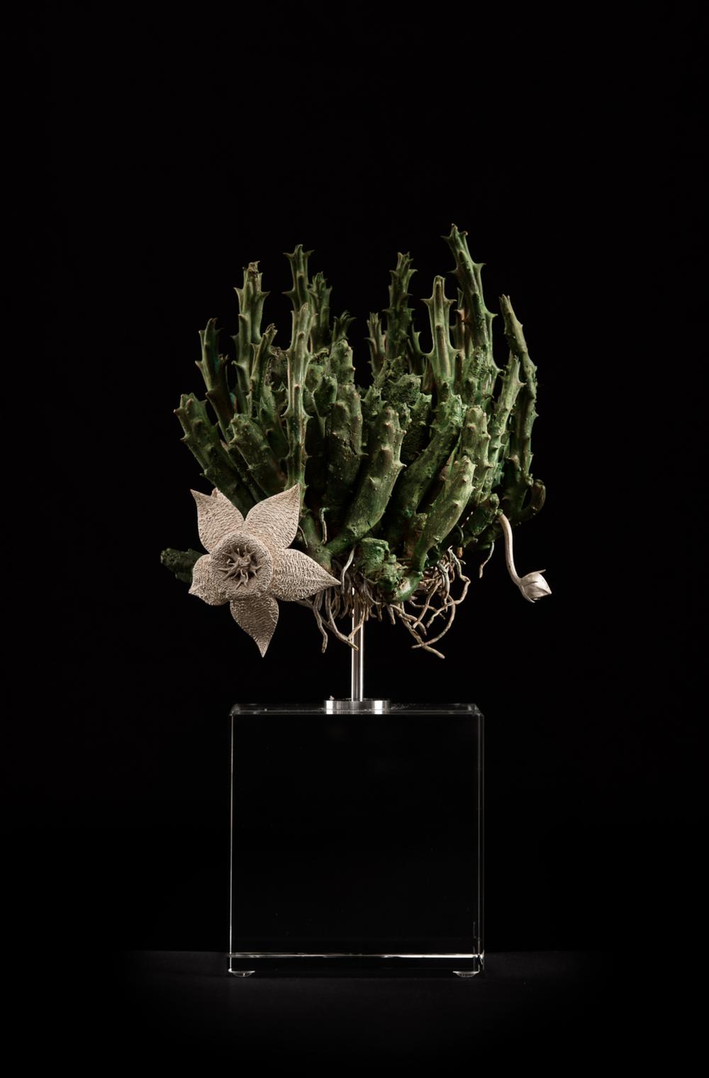 <i>Orbea variegata I</i>