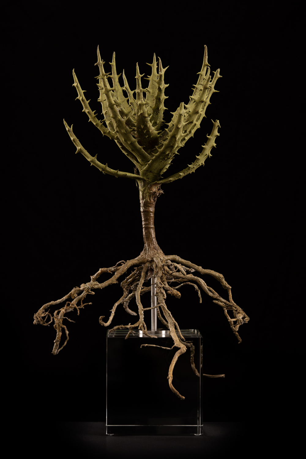 <i>Aloe melanacantha</i>