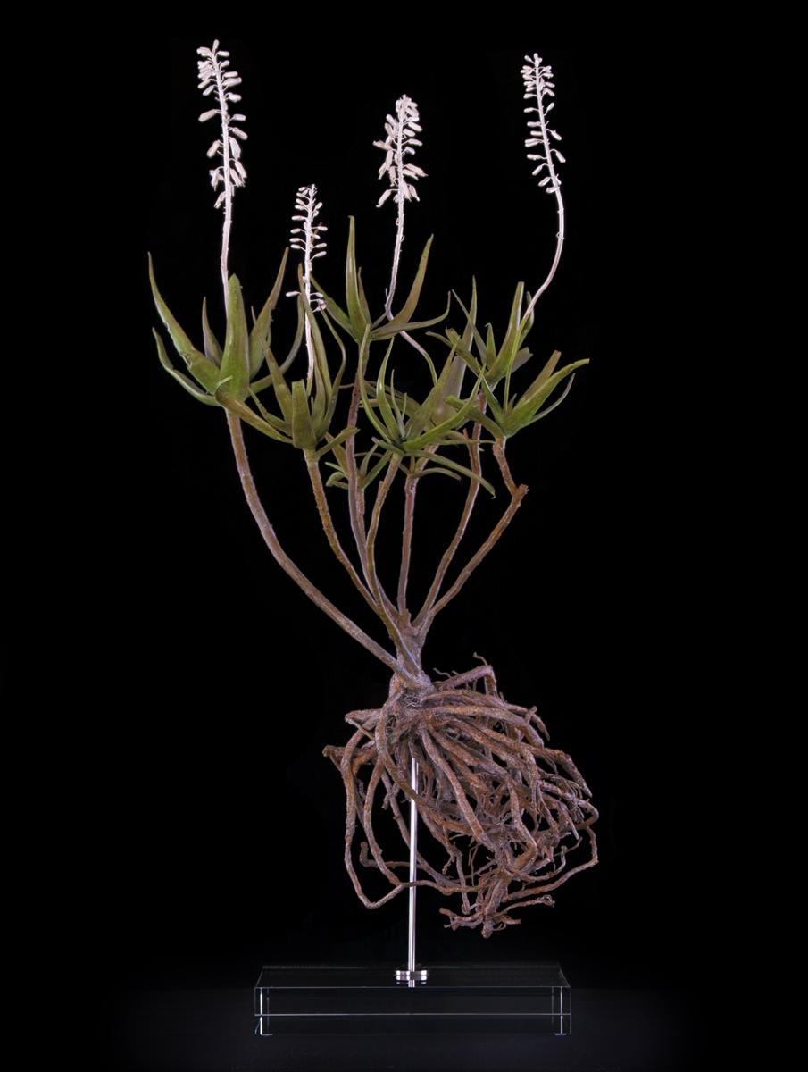 <i>Aloe tenuior</i>