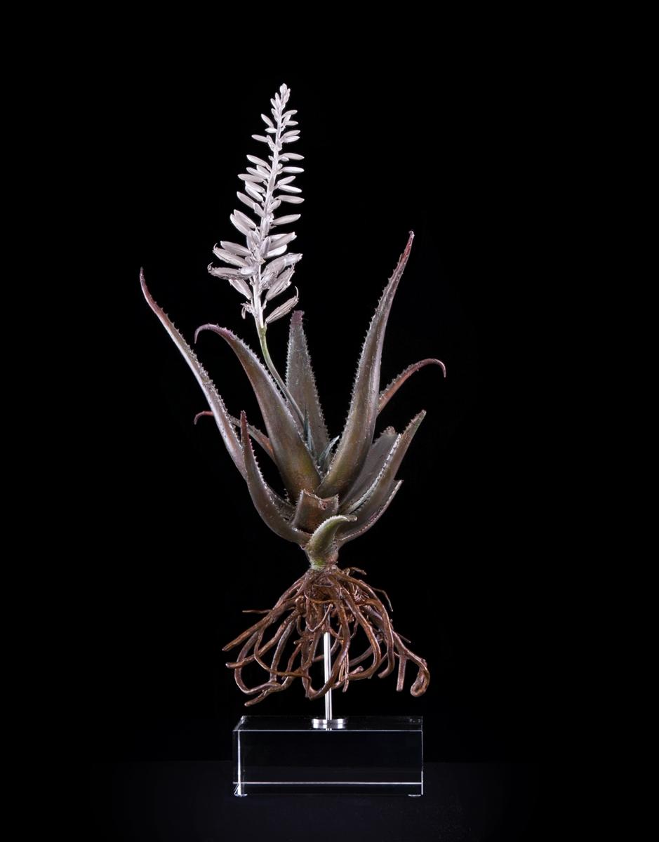 <i>Aloe succotrina X</i>