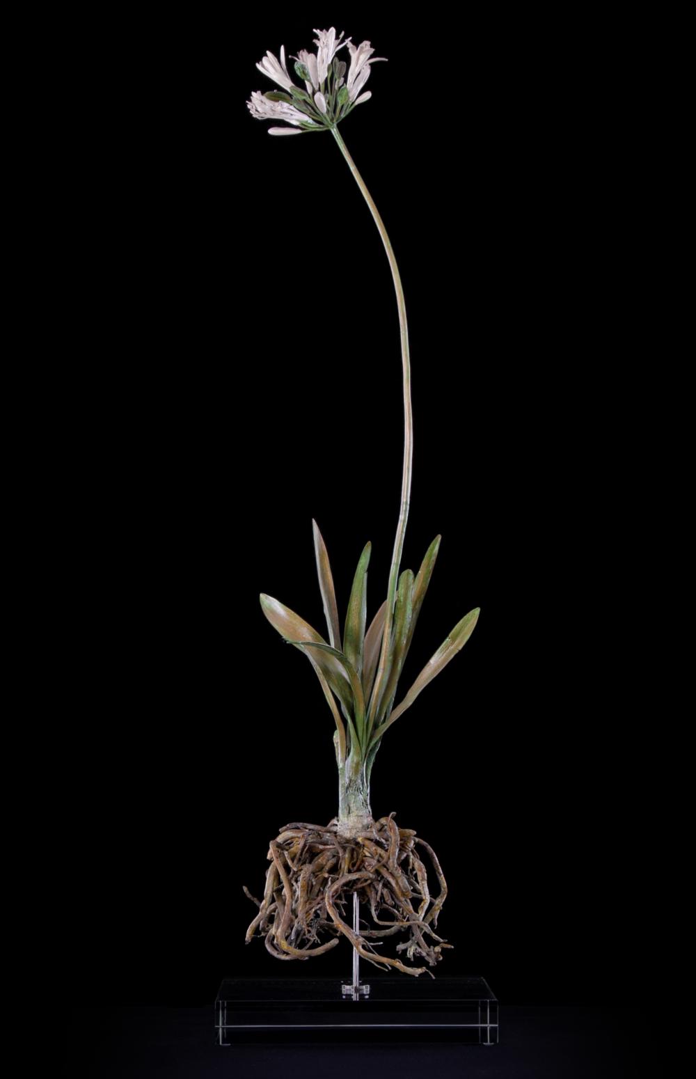 <i>Agapanthus africanus </i>