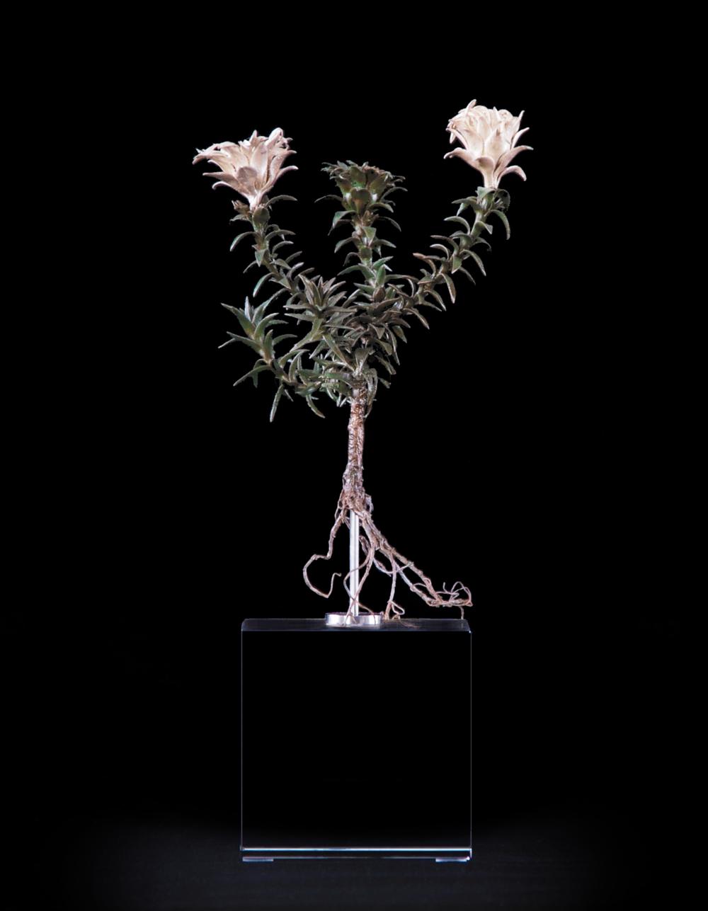 <i>Oedera capensis</i>