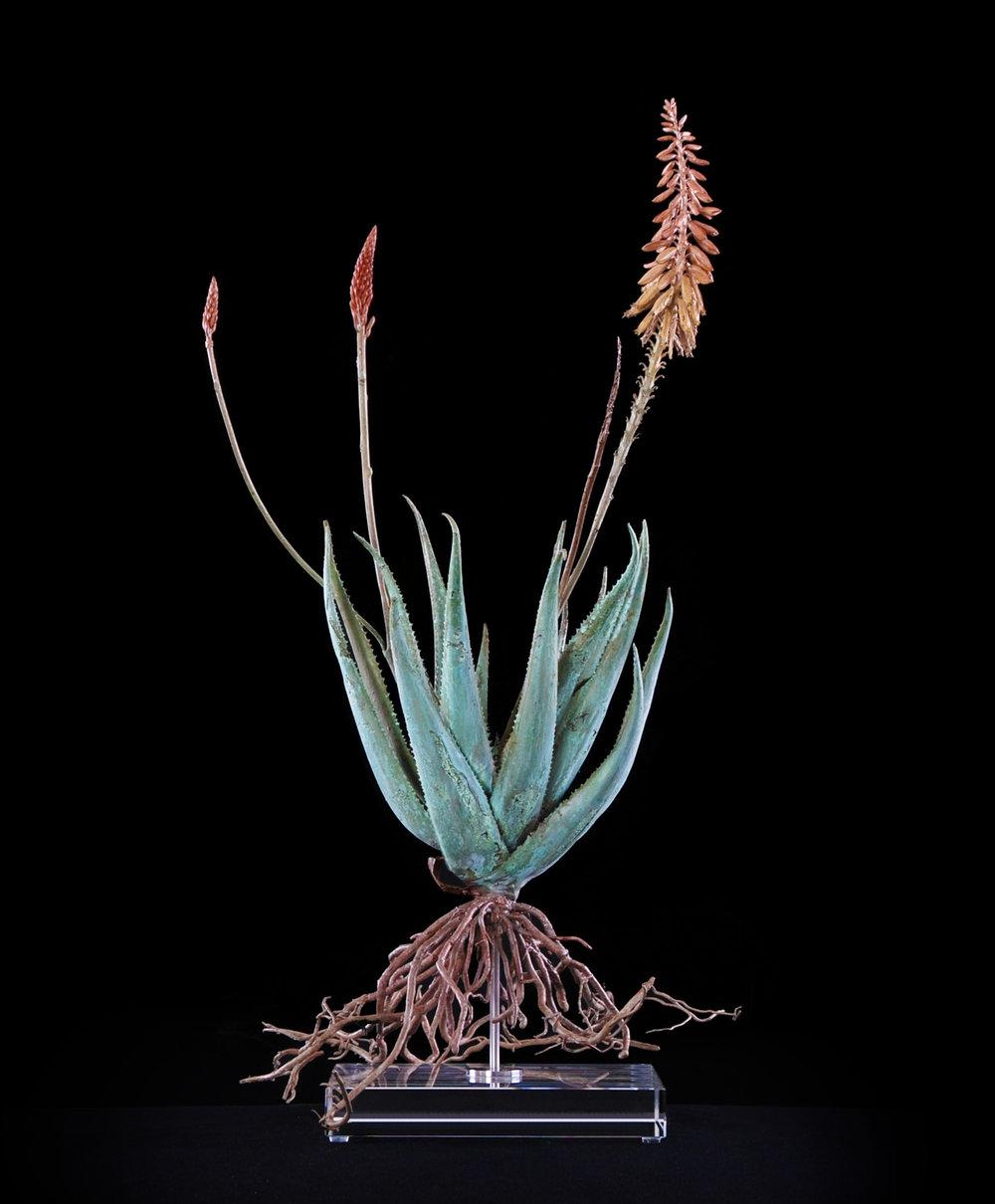 Copy of <i>Aloe pluridens x (v)  </i>
