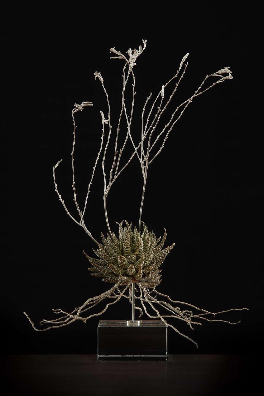 <i>Haworthia minima</i>
