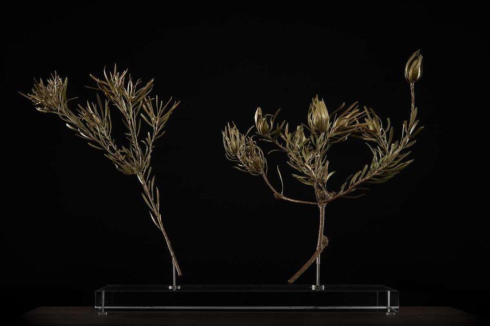 <i>Leucadendron salignum ♂+♀ </i>