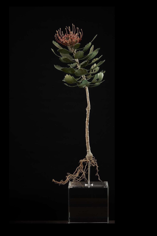 <i>Leucospermum praecox</i>