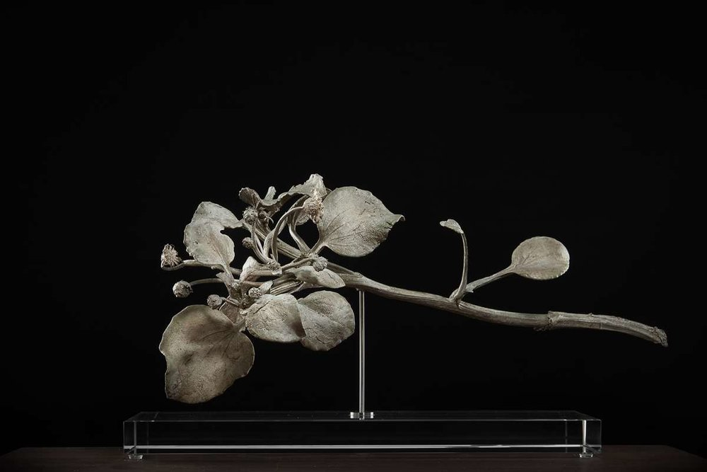 <i>Arctotheca populifolia</i>