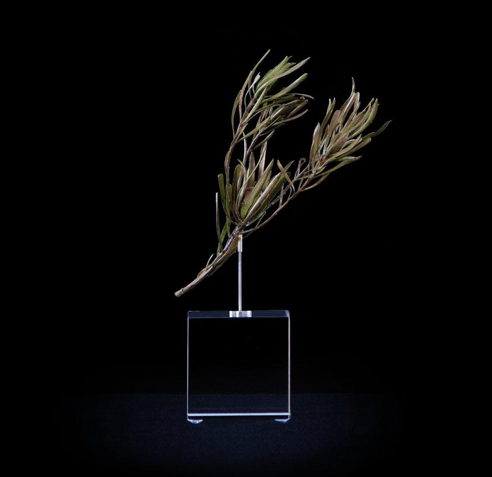 <i>Leucadendron salignum ♀ (female)</i>
