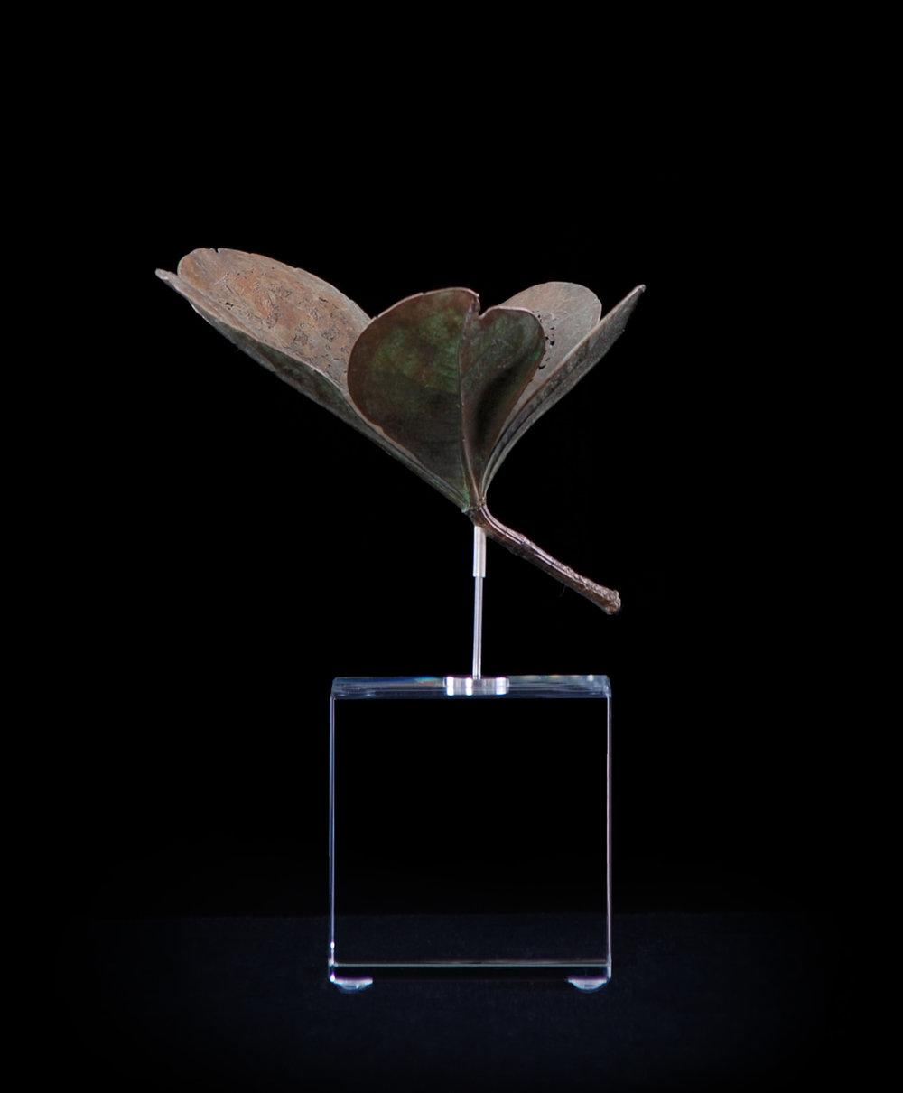 <i>Cussonia thyrsiflora</i>