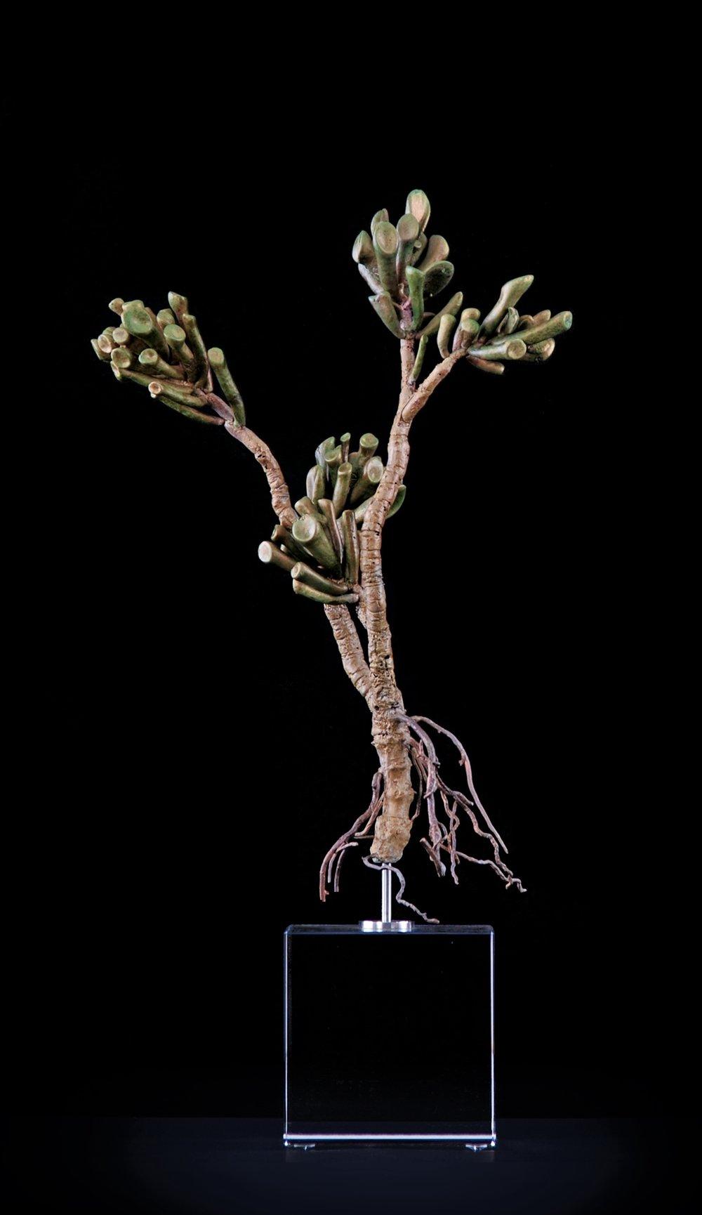 <i>Crassula ovata 'gollum variegata'</i>