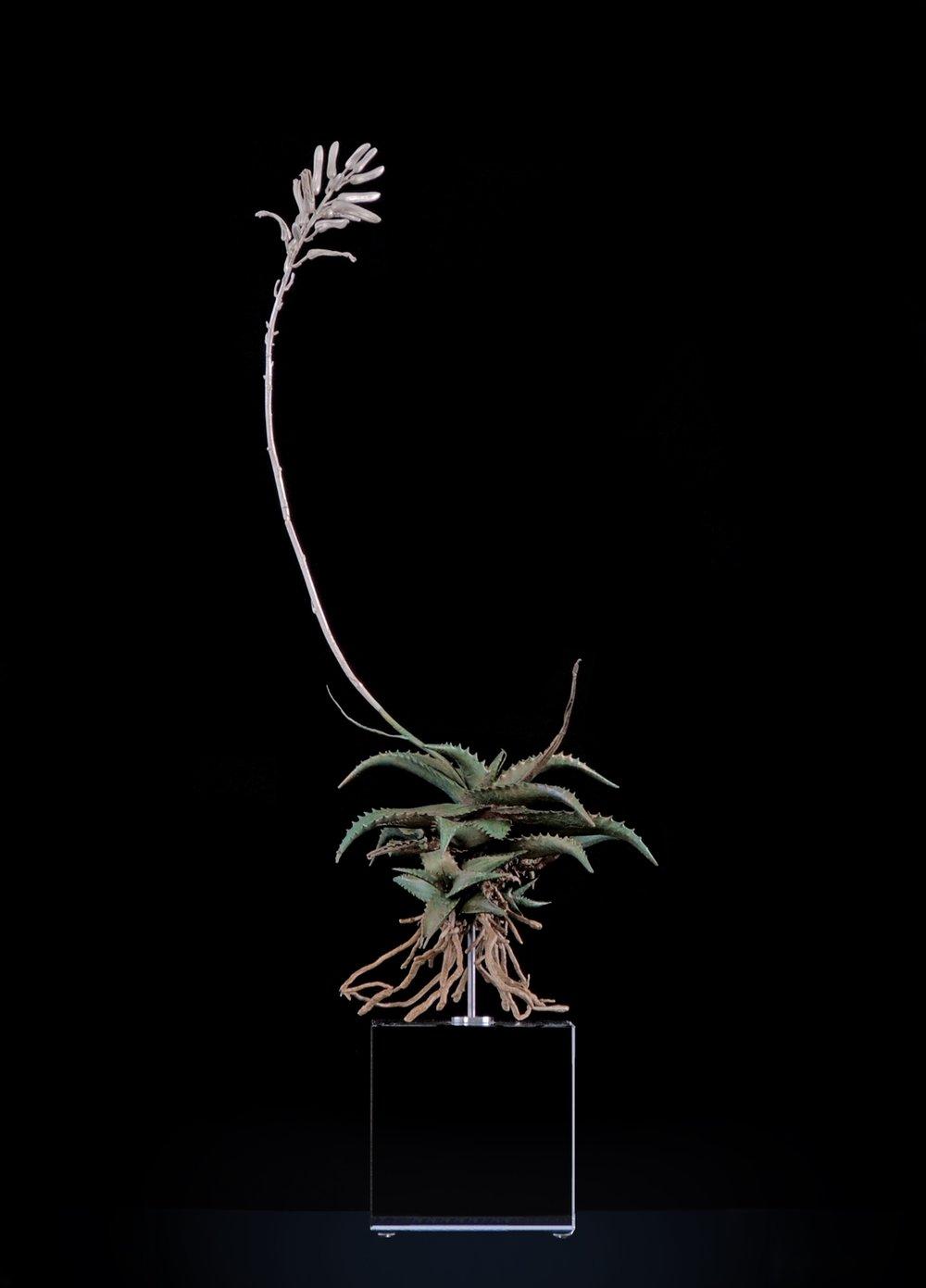 <i>Aloe somaliensis</i>