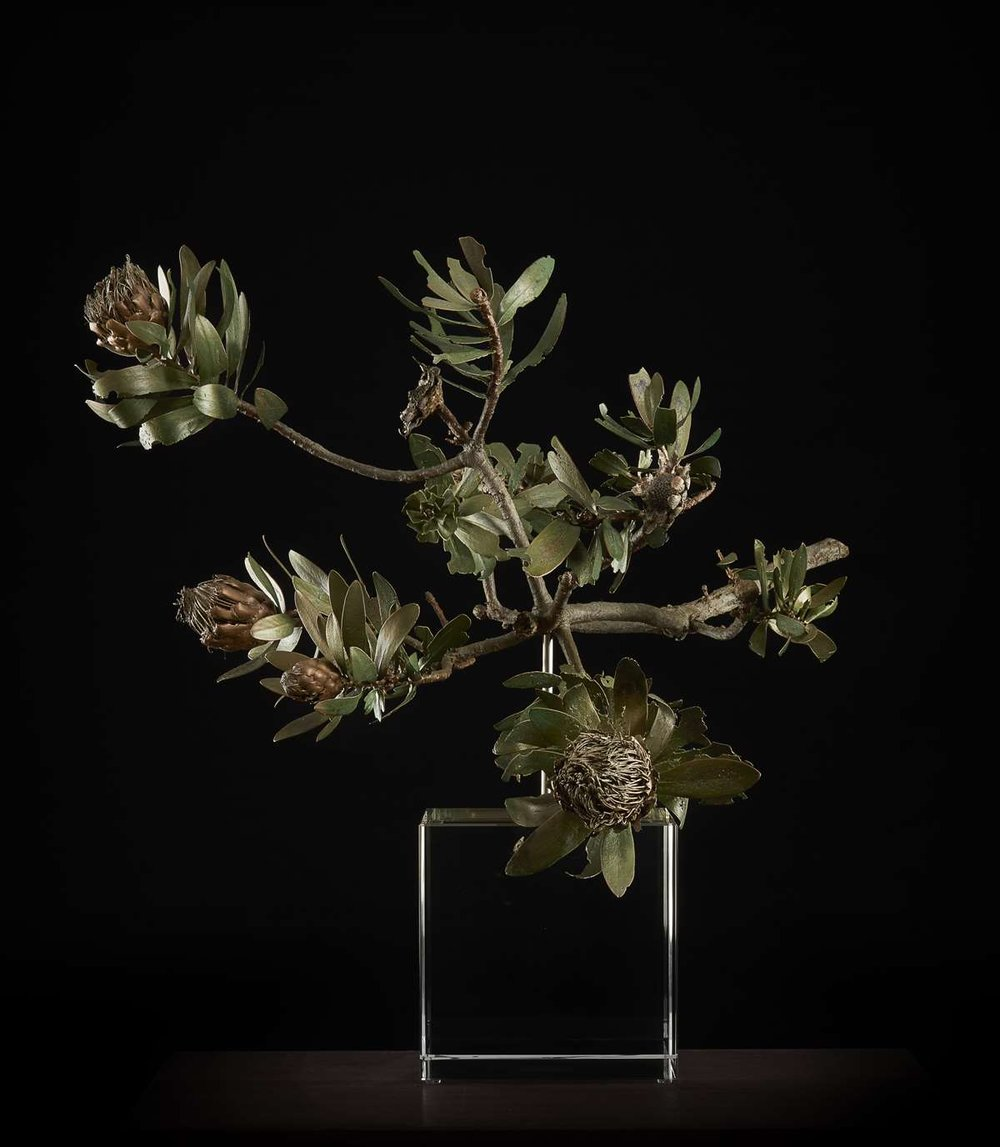 <i>Protea nitida dwarf </i>