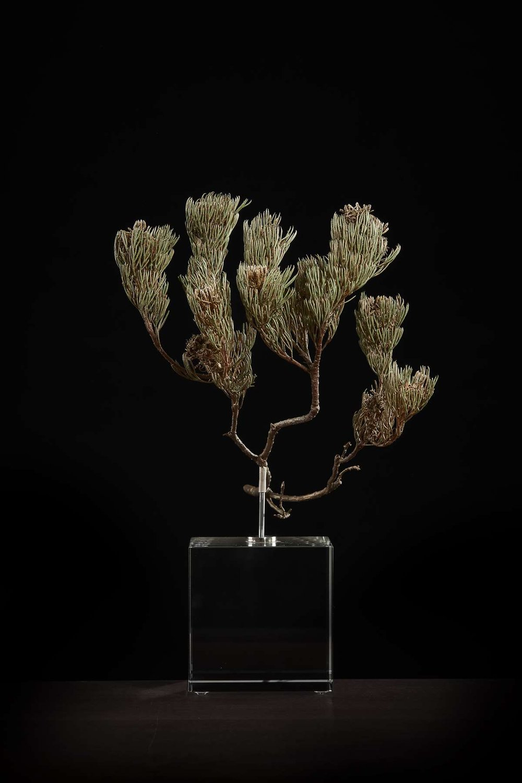 <i>Serruria villosa </i>