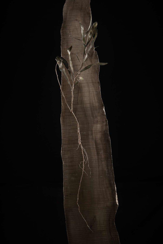 <i> Acacia saligna</i>
