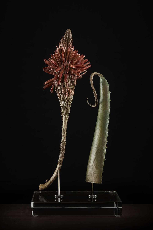 <i> Aloe arborescens </i>