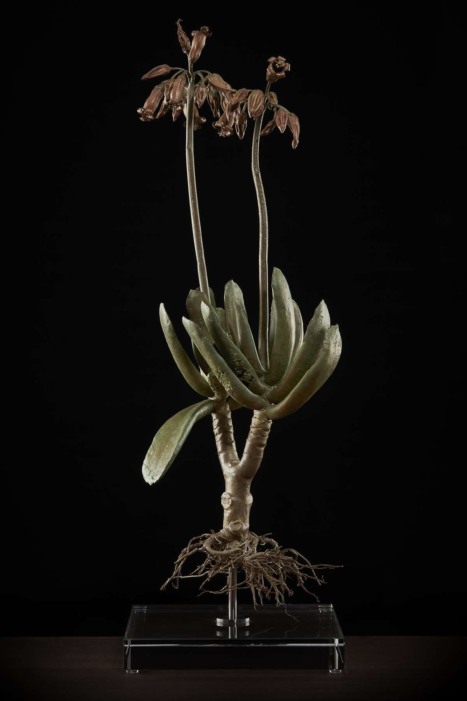 <i> Coteledon orbiculata</i>
