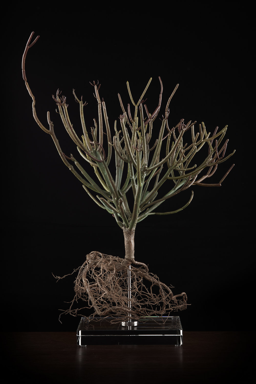 <i>Euphorbia tirucalli  </i>