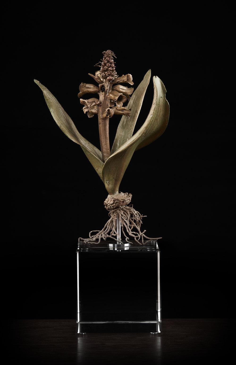 <i> Lachenalia hybrid </i>
