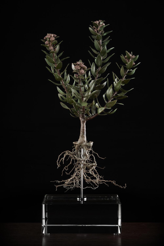 <i> Leucospermum Bolusii </i>