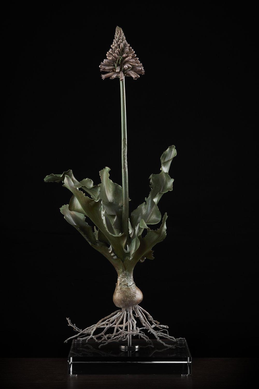 <i> Veltheimia capensis </i>