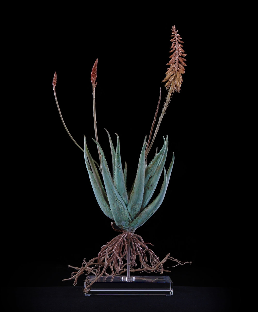 <i>Aloe pluridens x (v)  </i>