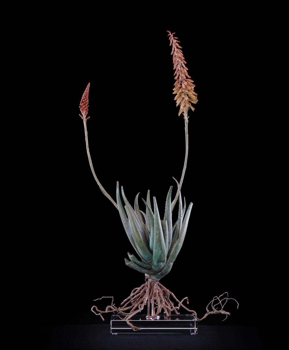 <i>Aloe pluridens x (iii)</i>