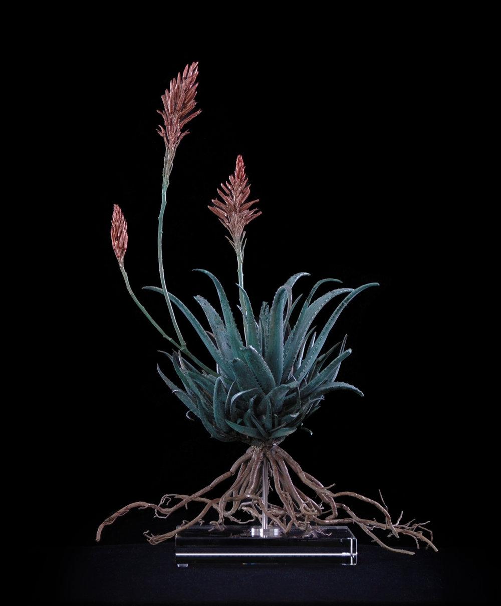 <i>Aloe hybrid x</i>