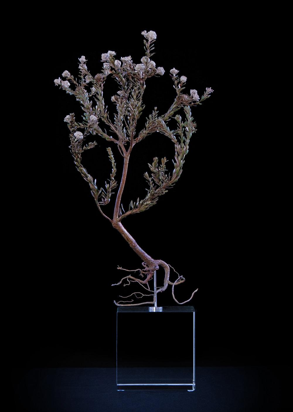 <i>Leucodendron levisanus </i>