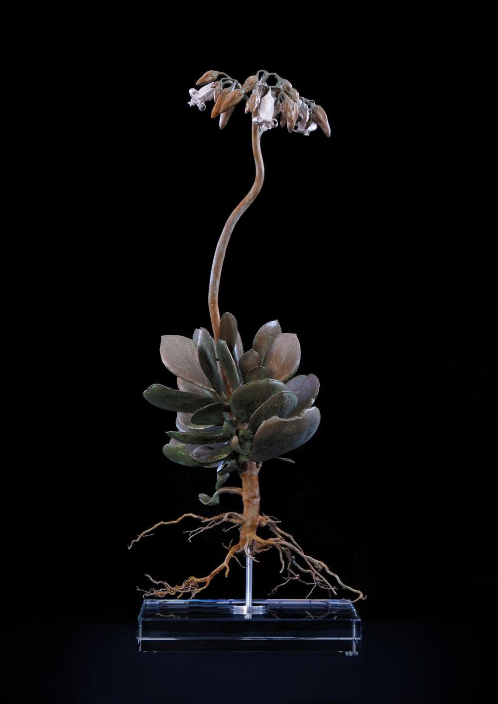 <i>Cotyledon orbiculata</i>