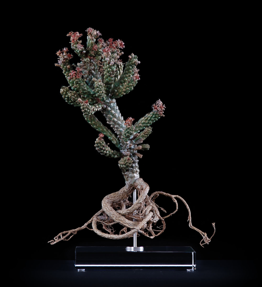 <i>Euphorbia caput-medusae (I)</i>