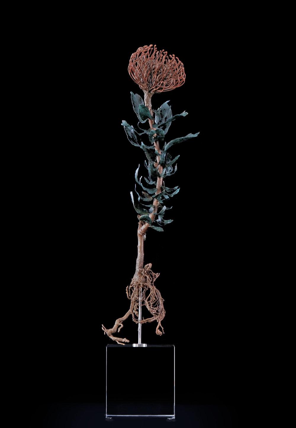 <i>leucospermum cordifolium</i>