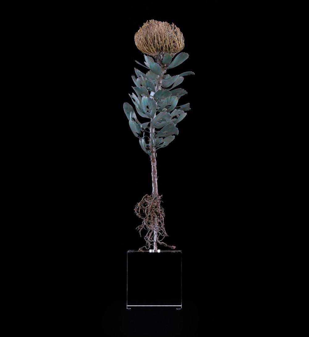 <i>Leucospermum erubescens</i>