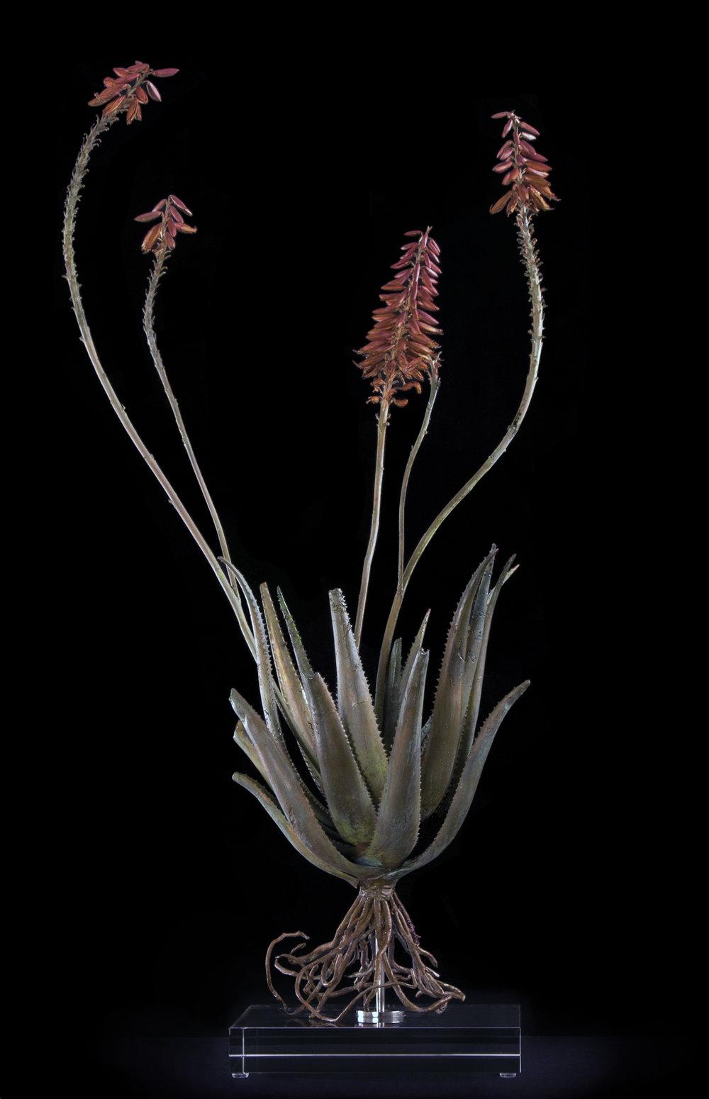<i>Aloe pluridens X </i>