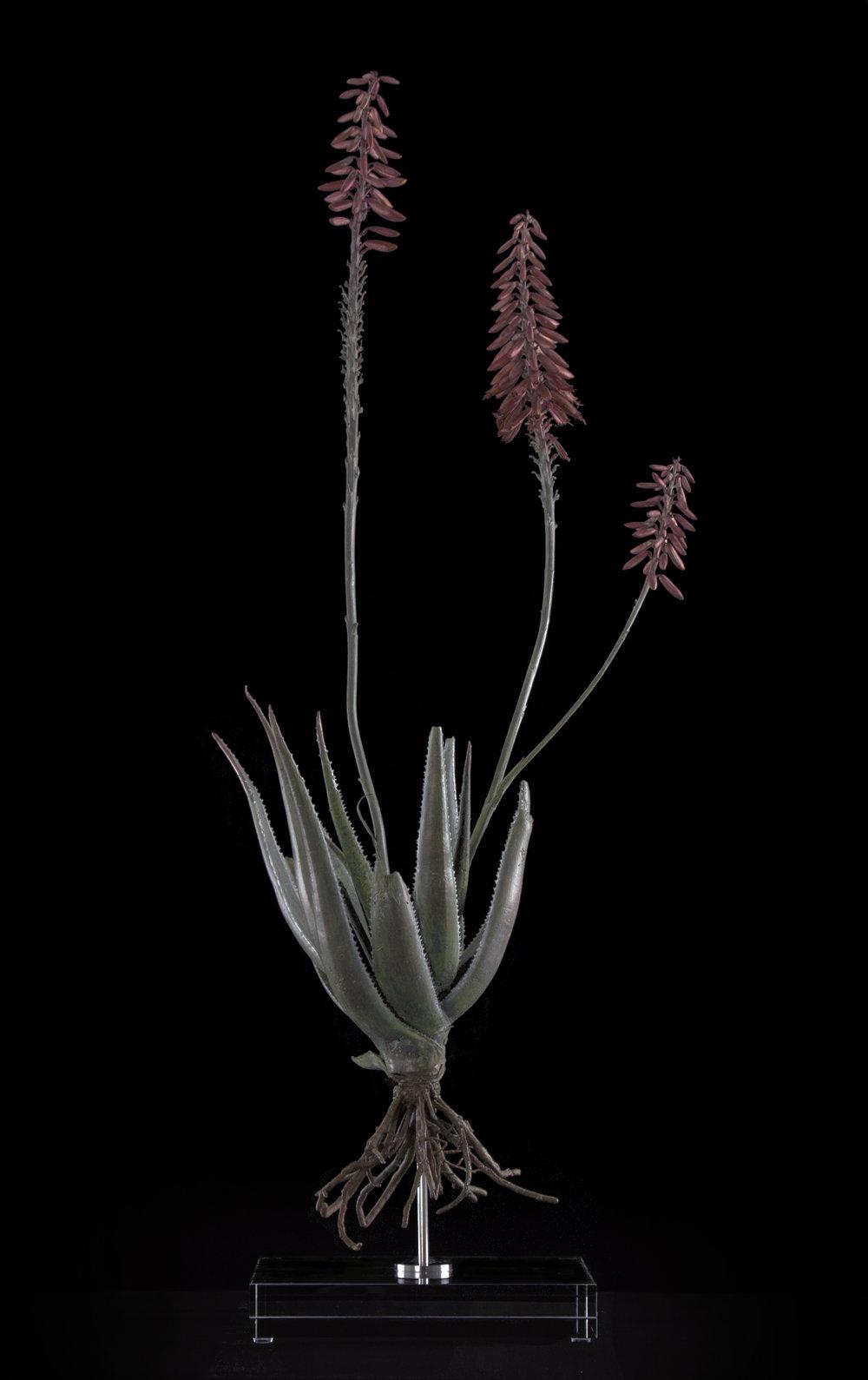 <i>Aloe pluridens X</i>