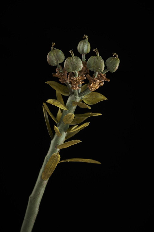 NicBladenBotanicals_LondonEX_Euphorbia mauritanica_5993.jpg