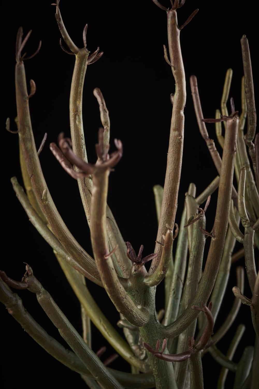 NicBladenBotanicals_LondonEX_ Euphorbia tirucalli_6033.jpg
