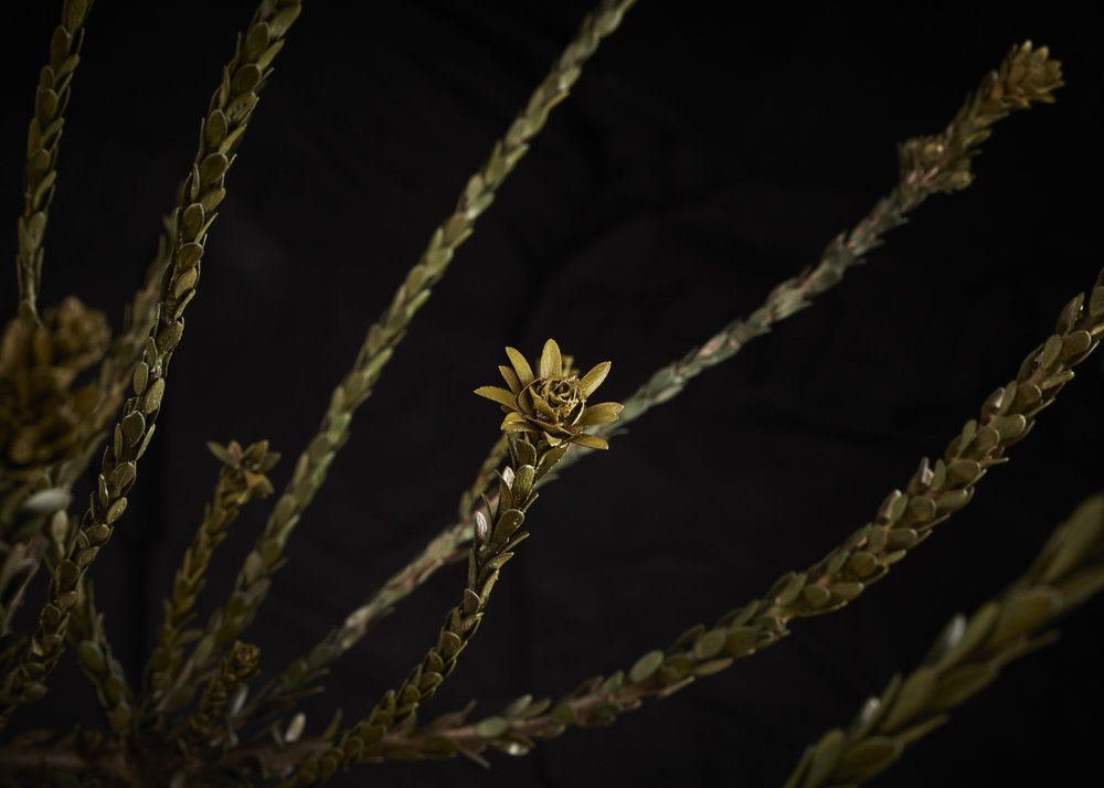NicBladenBotanicals_LondonEX_Leucadendron thymifolium_6143.jpg