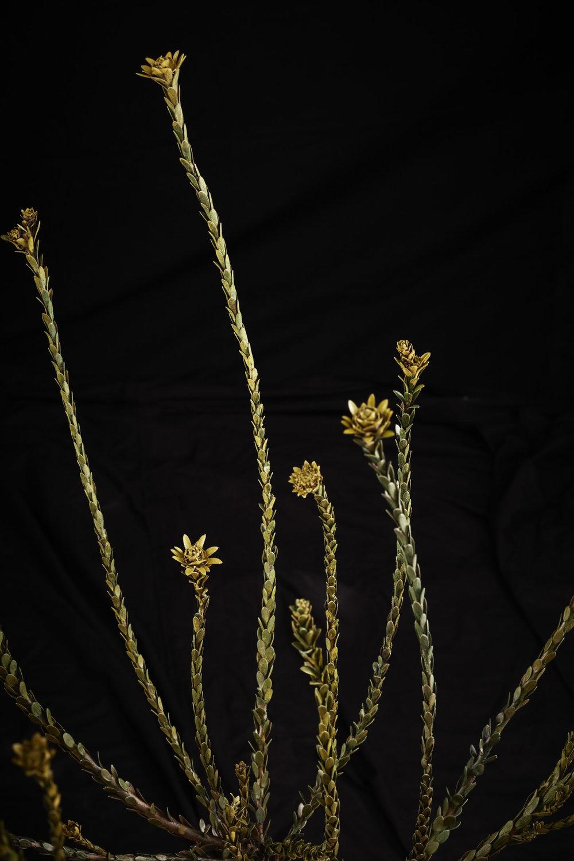 NicBladenBotanicals_LondonEX_Leucadendron thymifolium_6144.jpg