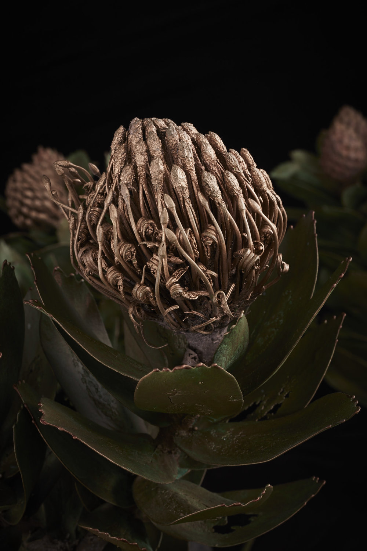 NicBladenBotanicals_LondonEX_Leucospermum conocarpodendron II_6300.jpg